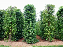 Pepper Plantations
